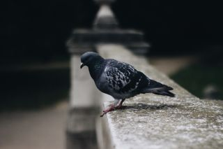 Pigeon Waste Clean up Removal in Sydney